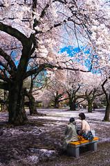 DSC07027-2 (Ericlaihk) Tags: japan japanese tokyo spring shinjuku blossom cherryblossom sakura shinjukugyoen