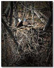 Bonnie & Clyde Sittin' In A Tree... (Tustin Designs) Tags: nature birds parents nest raptors birdsofprey baldeagles eaglets bonnieclyde southwesternpa dailynaturetnc12 april212014