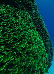Cabbage corals (kyshokada) Tags: cabbagecorals corals underwater scuba diving reef fiji astrolabereef canon powershot pacific