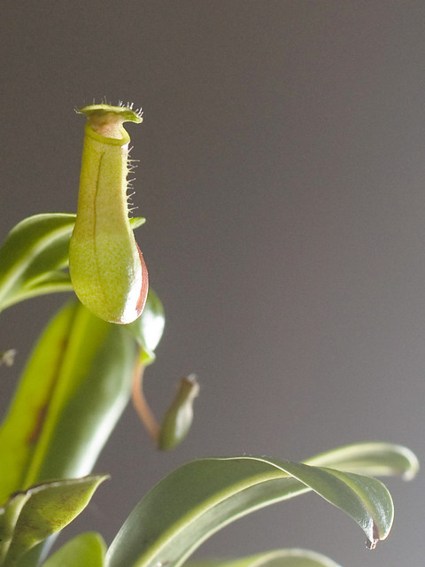 Nepenthes cv.