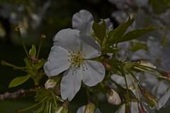 (IanAWood) Tags: kewgardens london spring raw richmond cherryblossom royalbotanicalgardens d3x nikkor105mmf28gvrmicro walkingwithmynikon