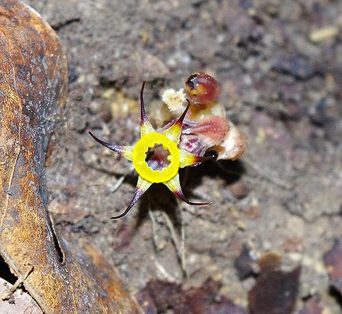 Expédition Sangha 2010 : Plante parasite inconnue