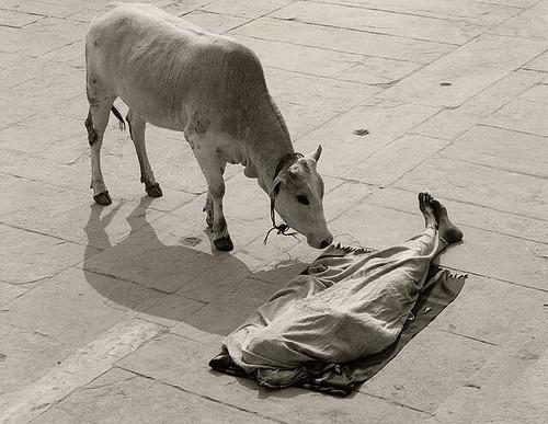 Pentti Sammaliahti, Varanasi, India, 1999 cow