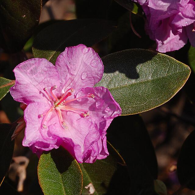 Missouri Botanical Garden (Shaw's Garden), in Saint Louis, Missouri, USA - pink rhododendron