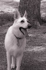 White Shepard By Tree Huge Grin (sepiahhh7) Tags: park old autumn light summer portrait sky people horse woman pet white man black flower detail reflection tree cute guy bird art fall nature water senior beautiful face weather animal sex sepia clouds contrast river garden dark bench puddle lost photography cow photo kid spring pretty branch texas shadows child place snake antique top tx awesome pansy scenic adorable scene save best sharp petal explore gal swamp lamb cypress azalea pick vote calf bnw