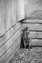 Cornered (Phil W Shirley) Tags: bw white black corner standing zoo meerkat hamerton