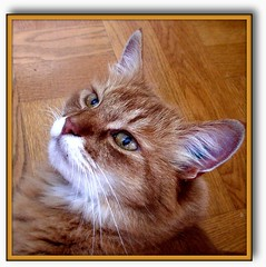 Vincent (Per Ola Wiberg ~ Powi) Tags: cats pets animals june juni cat sweden showroom katter 2007 katt somalian catsandkittens thecatsmeow simplybeautiful eker loveofthefeline tappstrm catsaremyfriends catsupclose ourfaves bestofcats kissablekitties keepyoureyesopen kittycrown sperhearts heartawards flckrhearts magicaltouch catsuluv gatosgatinhas lamascotte beautifulshot furrycatfriends mascotasanimales excellentcatsshots catswelove siamesecatsandtheirfelinebrothers artofimages catsalltypesofcats {petportraits} animalsimages celebrateourfurryfriends bestofpetportraits friendsofzeusphoebe flickrsgottalent bestpeopleschoice theverybestofpeopleschoice purrrfectpussycats dagmarsanimalfarm treasuresofkeepyoureyesopen catsunleashed wonderfulfelinesworld sarahsrubyawards elisphotogallery hellofriend peaceandheart seniaskittygroup awesomephotosandeditions kittiecattiespurrr catsmasterpiecescollections catsandmoose nuskasgallery ~fortheloveofanimals~
