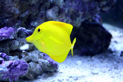 Yellow Tang (SertomaBHPMC) Tags: siouxfalls yellowtang sertomabutterflyhouse purdymarinecove