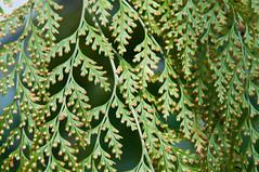 Vorhang (koDesign) Tags: green texture nikon struktur basel grün blätter d300 botanischergarten nikkor2470f28