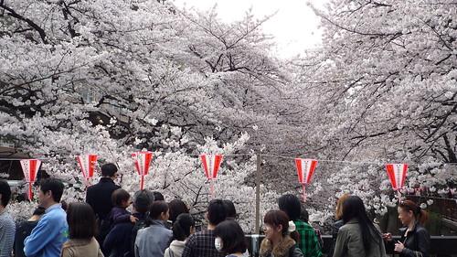 目黒川沿いの桜 2011