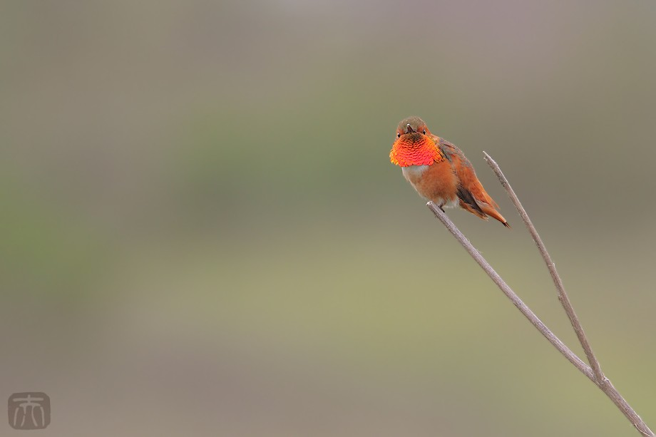 Allen's Hummingbird otto 040411