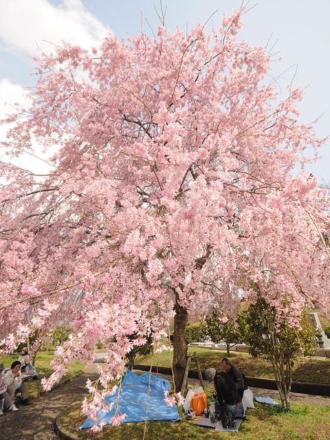 Sakura Himeji 桜姫路