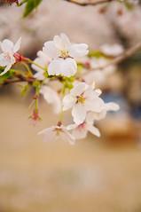 Cherry blossoms in Korakuen (Cik Kiah) Tags: pink japan cherry spring nikon blossoms hanami okayama d300 takebenomori korakuen