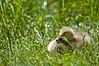Cozy Gosling (Nick Chill Photography) Tags: baby lake bird nature birds animal fauna nikon wildlife waterbird canadian goose gosling fowl waterfowl canadagoose brantacanadensis animalia avian d90 stockimage nickchill