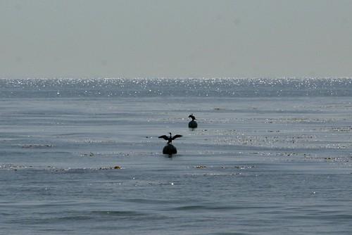 pelican dries off