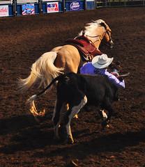 Steer Wrestling Before Breakfast (Bill Gracey) Tags: horse cowboy beautifullight rodeo steer rider sportsaction steerwrestling earlymorninglight bulldogging lakesiderodeo diamondclassphotographer