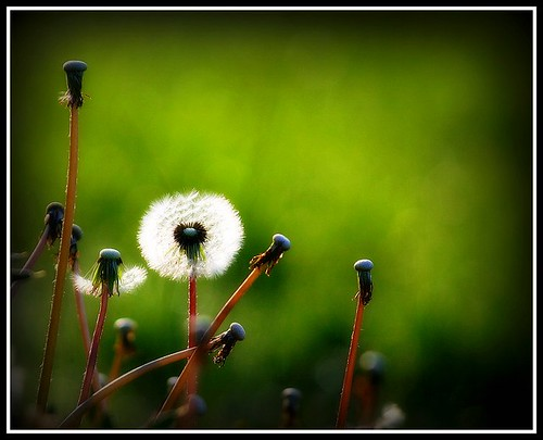 I chanced upon a wispy, puffy, silver ball :) by i moi myself