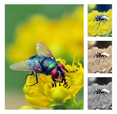 Flies , with red eyes !! (Salamah.y) Tags: red eye fly eyes flies