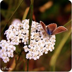 VERVEINE AVEC PAPILLON #2 (Fänfän) Tags: flowers france flores flower fleur fleurs flor francia fänfän losalpes lesalpes ltytr1