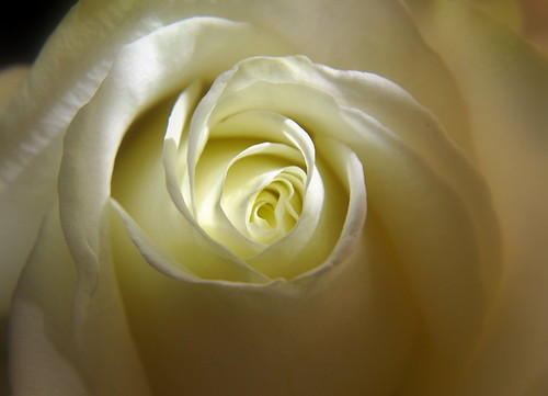 White rose by Add a bit of colour ;)