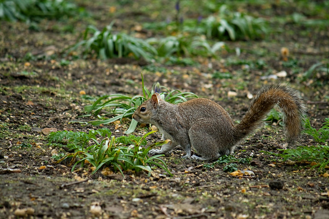 london st james squirrel
