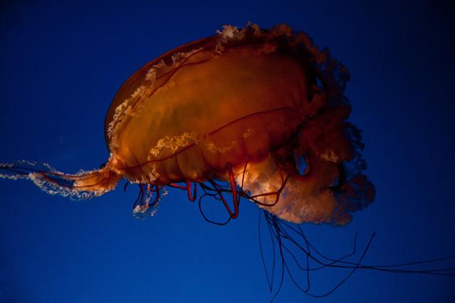 Acuario de Vancouver: medusas