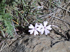 Another flower on Yakima Skyline trail.