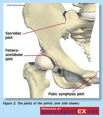 The joints of the pelvis (one side shown) (sportEX journals) Tags: medicine rehabilitation sportsmedicine sportex pelvicgirdle sijoint sportexmedicine