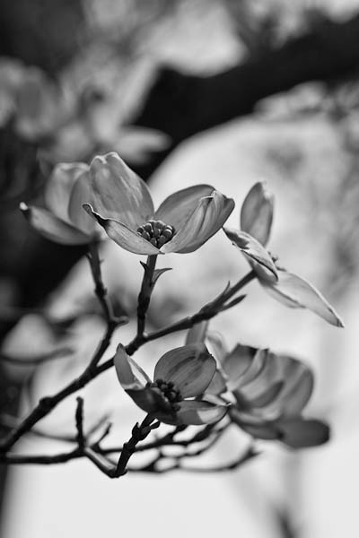 Dogwood Flowers in Black and White, Quincy Illinois