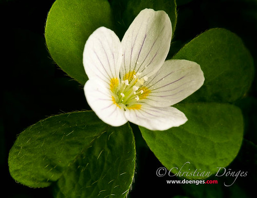 Common Wood-Sorrel Blossom