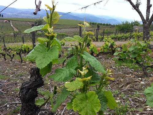 New bunches on old vines, the cycle continues