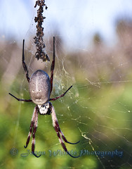 DSC09340 (Jason Whittle Photography) Tags: green spider big web spiderinweb