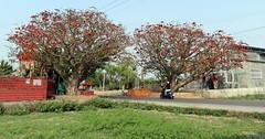 台南百年夫妻樹。