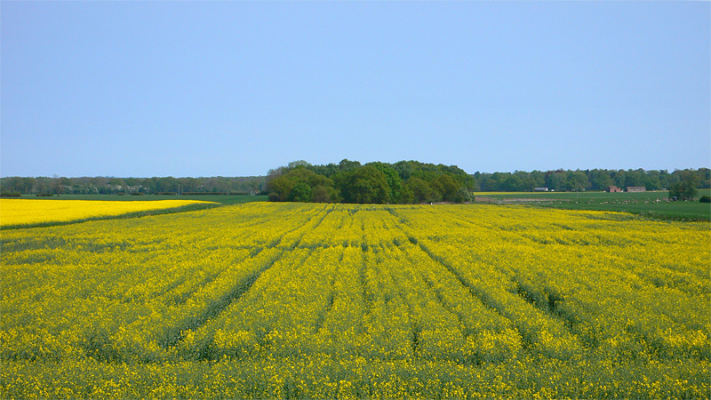 Rape fields near Woodhall Spa, Lincolnshire, UK