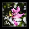 The Way I Love You! (e.nhan) Tags: pink flowers light black flower art nature closeup landscape colorful colours dof bokeh arts bee backlighting enhan