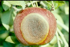 Large bitter rot lesion on an apple, with the surface covered with acervuli. Photo courtesy Kenneth D. Hickey, Penn State Univ.