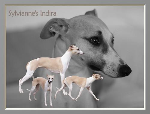 Animagi Whippets Collagen - Camaro - Sylvianne's Indira