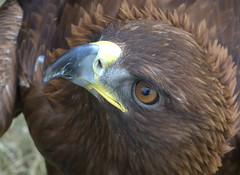 aquila reale - eagle (ti.feo) Tags: nature birds eagle natura falcon howl falconry natureportraits notturni gufi falchi rapaci aquile travedonamonate falconeria goldwildlife fotofficina nikond5000 natureskingdom brigettesbeautifulnaturegallery