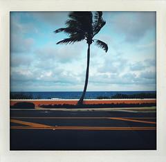 Palm Beach palm