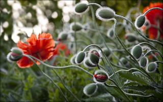 klatschmohn - poppies