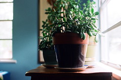 Growing Memories (La Branaro) Tags: film austin 1 texas dof houseplant kodak bokeh olympus depthoffield indoors pottedplants pottedplant jadeplant 35mmfilm shallow om om1 westrock jades shallowdepthoffield kodakfilm portra800 kodakportra800 bartonhills jadeplants zuiko50mmmacro jadecuttings zuikomacro jadeleaves 50mmf35macrolens growingjadesfromcuttings