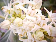 ดอกรัก__Love flower