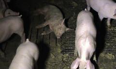 Una víctima moribunda de la esclavitud animal