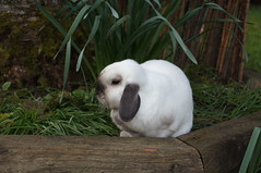 Moko (Tjflex2) Tags: pets canada cute rabbit bunny girl vancouver outside mammal furry backyard bc friendship fuzzy conejo small adorable cuddly coelho playful moko lapin usagi krolik kanin toki lagomorpha lepus fenek iepure muyal kelinci ilconiglio coinin sungura leporidea