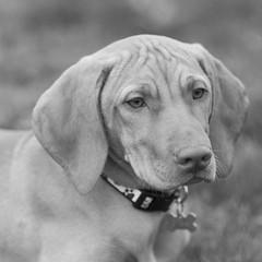 Scarlett (Sebastian B-B) Tags: blackandwhite dog pet pointer vizsla cropped portlandoregon obeymydog ef135mmf2l hungarianhuntingdog wealmostnamedhersepia