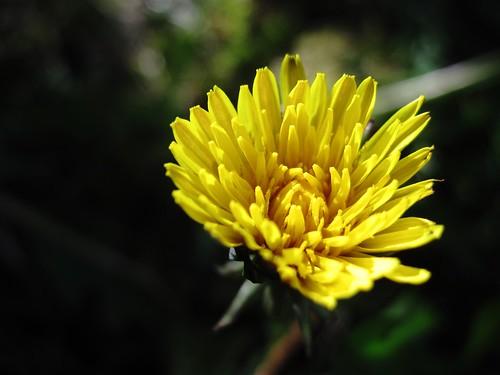 Dandelioned