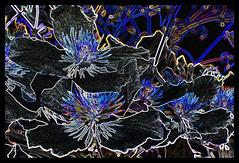 Altered Image (Celia Bebb) Tags: flower garden clematis glowingedges