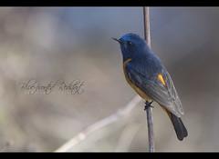 Blue-fronted Redstart (Male) (Z.Faisal) Tags: bird bhutan faisal redstart bluefronted girdi bluefrontedredstart phoenicurusfrontalis zamiruddin chelelapass zfaisal neelkopali