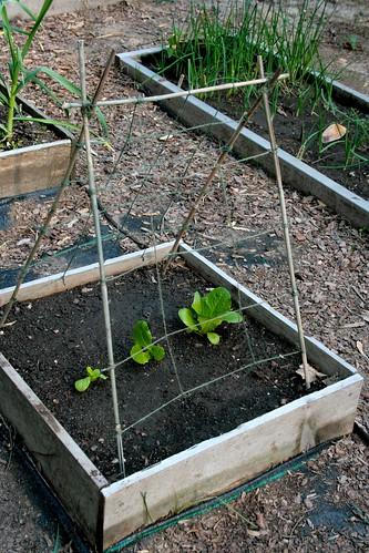 Lettuce, etc.