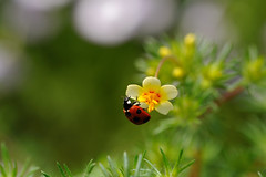 Ladybug (myu-myu) Tags: nature japan insect nikon explore ladybug 京都植物園 昆虫 coccinellaseptempunctata テントウムシ explorefrontpage d700 makroplanart2100zf ナナホシテントウムシ